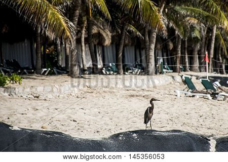 Mexican heron bird at the beach del carmen in yucatan 5