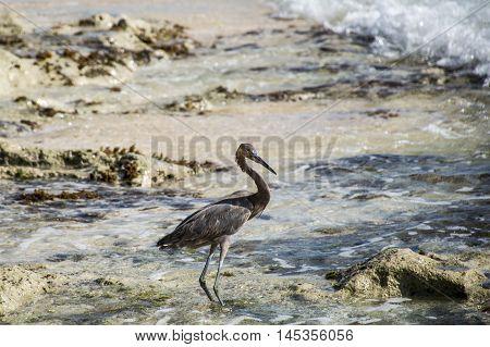 Mexican heron bird at the beach del carmen in yucatan 4
