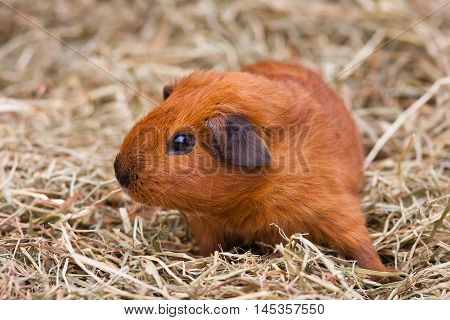 young shorthair guinea pig sitting on the hay