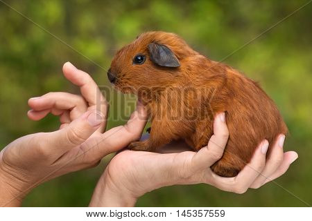hands of woman stroking young guinea pig on nature background
