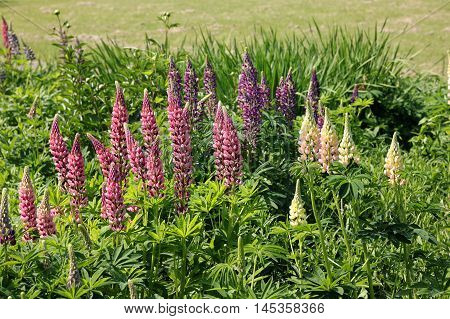The pink lupin (large-leaved lupine big-leaved lupine many-leaved lupine) is a popular garden plant.