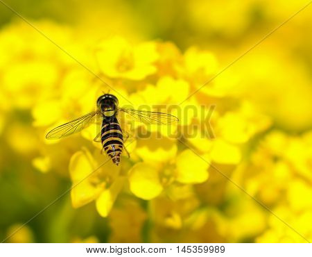 Hover Fly landing on yellow flowers close up