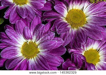 Aster Flower Asteraceae Garden Summer Floral Impression