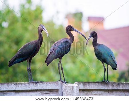 The Plegadis falcinellus bird. (Threskiornithidae). Glossy Ibis in wildlife. Unusual african wading bird.