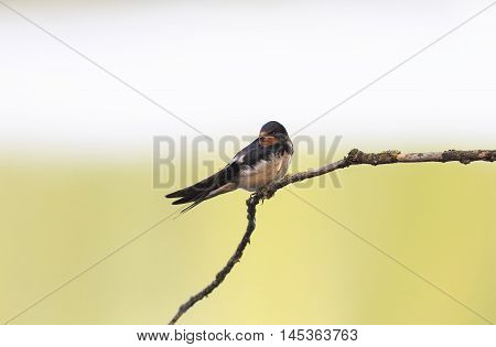 black little bird a swallow sitting on a branch on the shore in the summer
