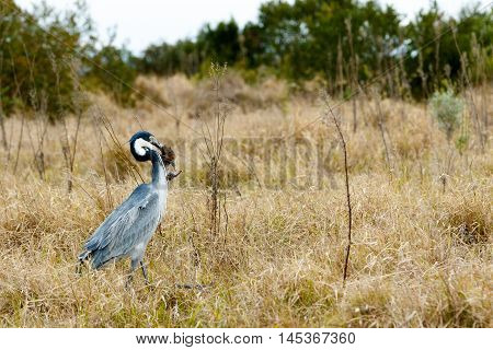 Great Blue Heron Bird Catching A Mouse - Image 1 Of 4