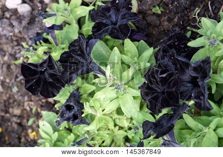 Black Petunias flowers on the bush with green leaves on the flower bed