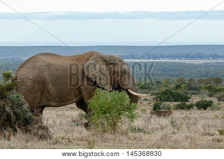 African Bush Elephant In The Open Land.