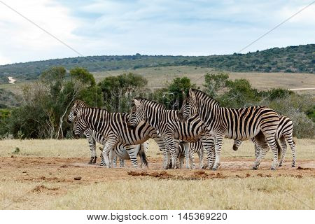 Tribe Of Burchell's Zebra At Watering Hole