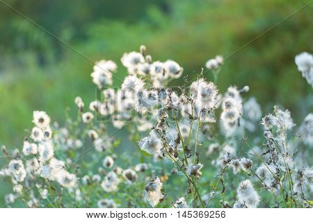 Withered Thistle Flowers In Sunset Light