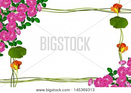 flower buds of roses isolated on white background. Frame from stem nasturtium