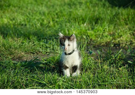 in the summer garden kitten Black and white color sitting on green grass with green eyes afraid