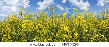 Blooming rapeseed field panorama in close-up against blue and white sky with sun