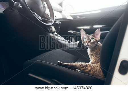 Beautiful Devon Rex cat is sitting in a car seat. Cat is feeling comfortable and relaxed. Train your cat to travel together. Reducing Cat Stress during Car Rides. Cat is inside a car. Travel with pets
