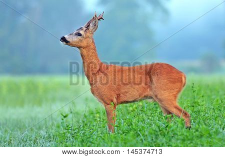 Wild roe deer (Capreolus capreolus) in a field