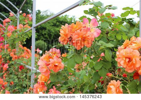 beautiful roses in the summer garden, floral background