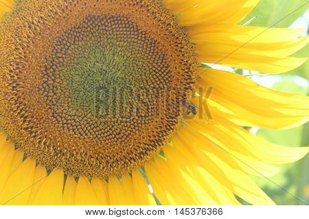 blooming sunflower pollinated by bee, floral background