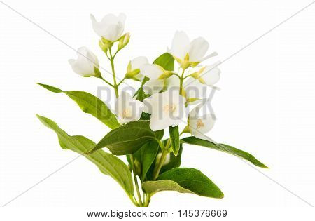 jasmine spring flower on a white background