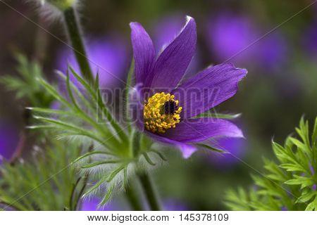 Pulsatilla Easter Flower Garden Passion Impression Spring