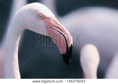 Beautiful dream-like image of a Greater Flamingo. Eye is sharp but overall image has a soft feel Gorgeous pink colours against a greeny blue blurred backgraound.