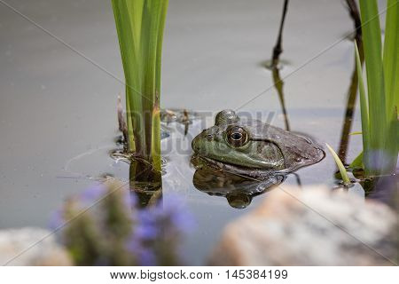 Bullfrog with only head sticking out of pond in Missouri