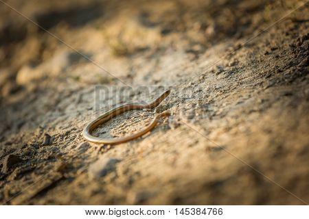 Slow Worm (anguis Fragilis) Basking On Sun