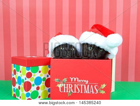 Two black kittens siblings brother sister popping out of a red holiday box wearing miniature santa hats green table red striped background. Merry Christmas on box. Muliti colored present