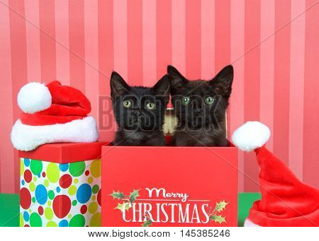 Two black kittens siblings brother sister popping out of a red holiday box miniature santa hats on green table red striped background. Merry Christmas on box multi colored polka dot box on floor