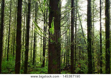 a picture of an exterior Pacific Northwest forest of mossy  Douglas fir trees