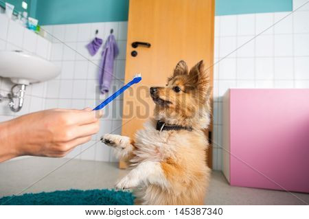 a young Shetland Sheepdog and a toothbrush