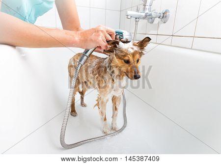 a shetland sheepdog under a fresh shower