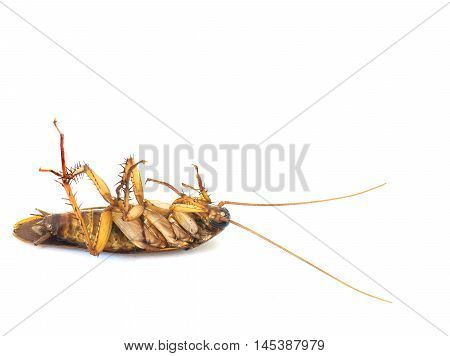 Closeup Dead cockroach isolated on white background