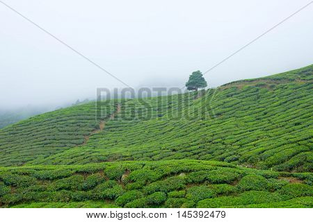 View of valley with tea plantations covered by fog in Cameron Highlands Malaysia.