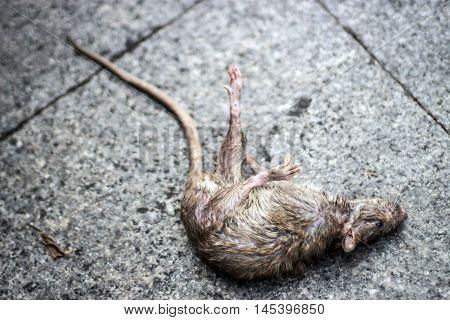 Dirty Dead Rat Mammal Animal On Cement