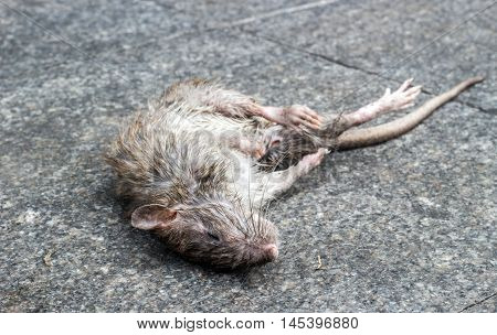 close up dirty dead rat mammal animal on cement ground