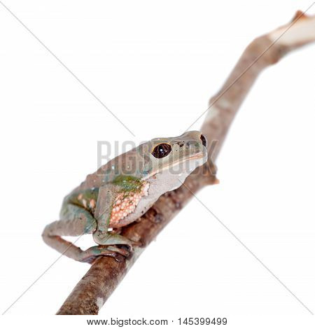Tarsier Monkey Frog, Phyllomedusa tarsius, isolated on white backgroun