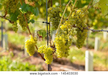 Green Grapes Growing On A Trellised Vine
