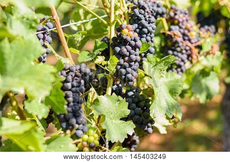 Bunches Of Ripening Red Grapes In A Vineyard