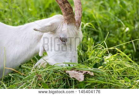 Adult white goat village with large horns eats green grass mown.