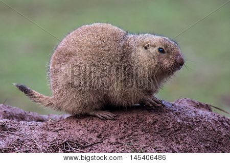 A black-tailed prairie dog resting on a muddy hill