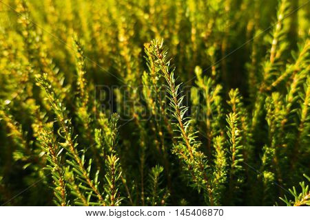 Detail of evergreen conferious plant on mountain Troglav at late summer, west Serbia