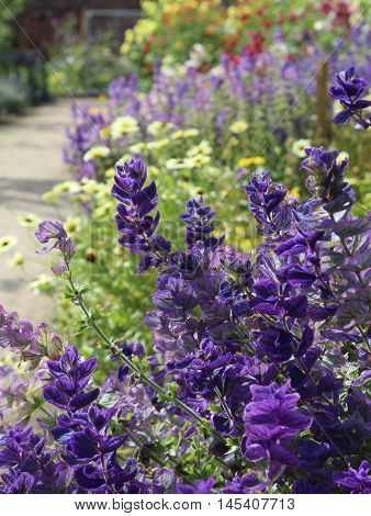 A beautiful flower border full of summer flowering plants including Salvia hormonium blue in the foreground.