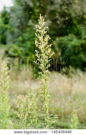 Erigeron Canadensis Plant