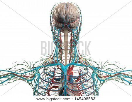 Human anatomy arteries, organs, on plain background. 3d illustration