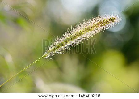 Setaria Viridis Growing In The Meadow