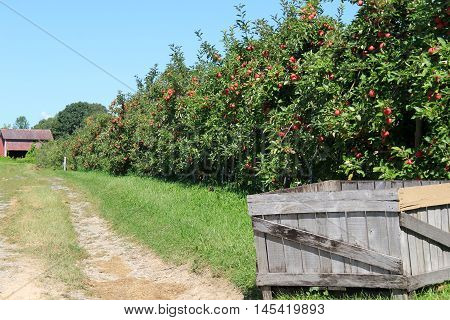 Dusty pathway with apple crate at base of apple trees in orchard, old, weathered red barn far off in the distance.