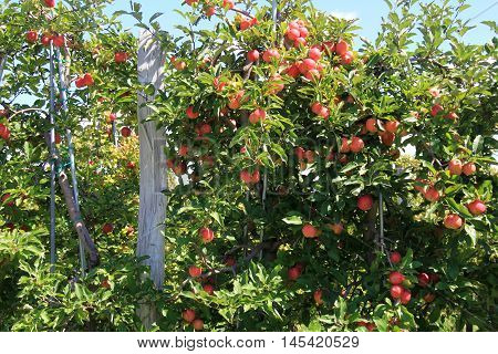Beautiful scene of apple trees leaning over old, gray fencing in orchard.