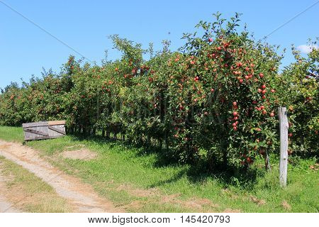 Gorgeous landscape of old,weathered gray fencing and fruit-laden apple trees in local orchard.