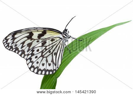 Idea leuconoe butterfly isolated on white background, also known as large tree nymph or paper kite