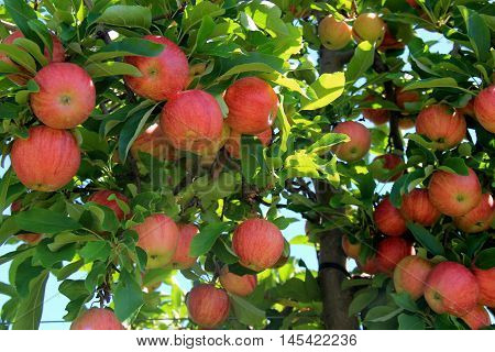 New crop of flavorful apples hanging from branches of tree in fruit orchard.
